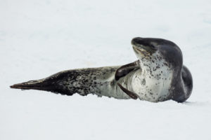 Although they look cute in photos, leopard seals are an aggressive top-level predator.