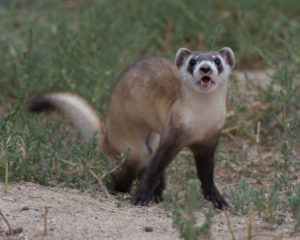 Black-footed ferrets are ferocious and cute at the same time, said McCuen.