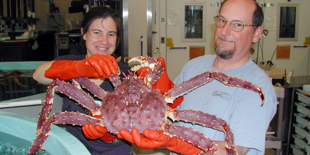 red king crab with researchers