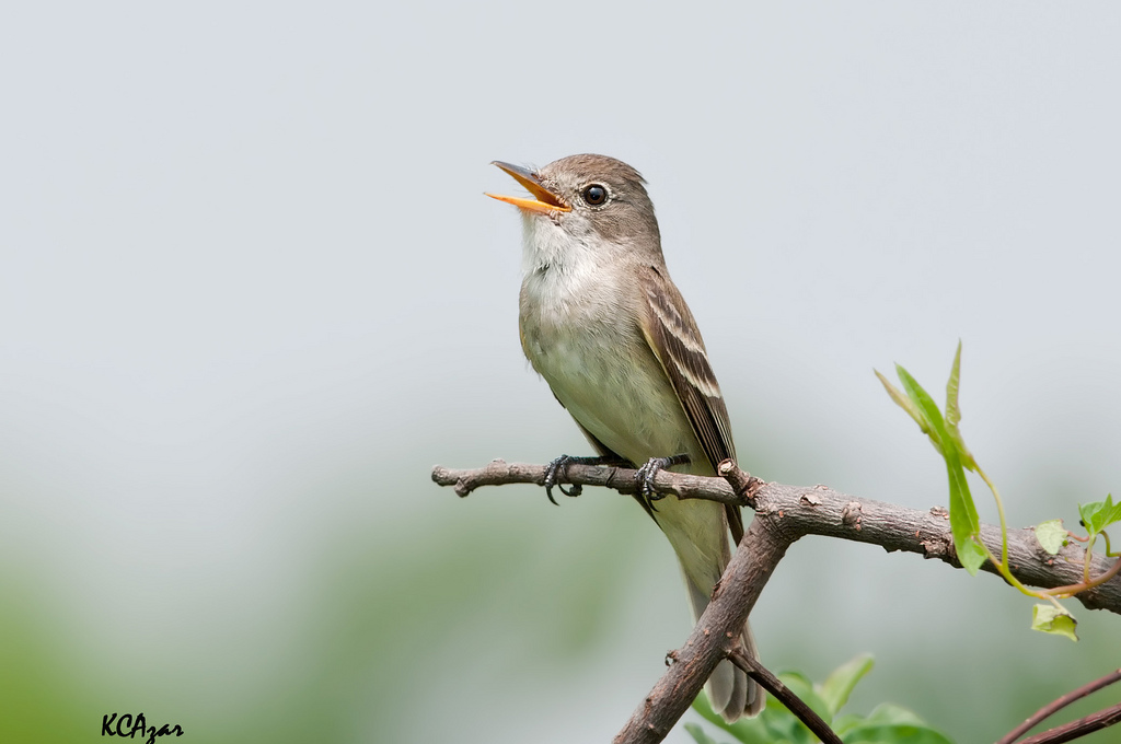 The Southwestern Willow Flycatcher a species Forester will study (photo credit: Kelly Colgan Azar)